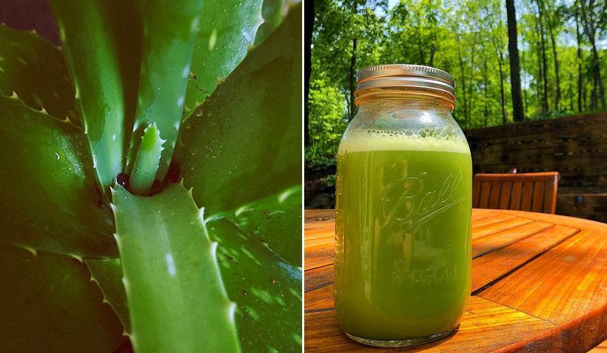 Rezept von Aloe Arborescens von Pater Romano Zago: wie man es zubereitet