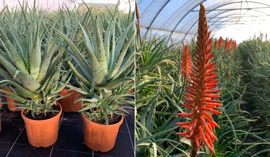 Aloe Arborescens. Propiedades y beneficios de la planta de salud.