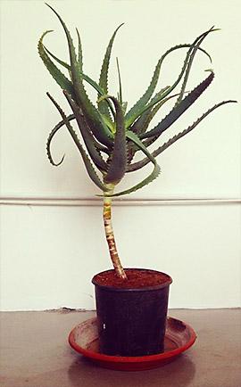ალოე არბორეშენის მცენარე