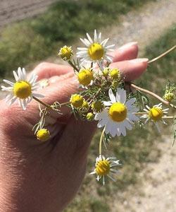 გვირილას ყვავილები