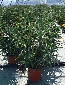 Aloe Arborescens Pflanze gegen Blasenentzündung