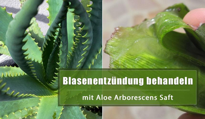 Wie man Blasenentzündung mit Aloe Arborescens heilt