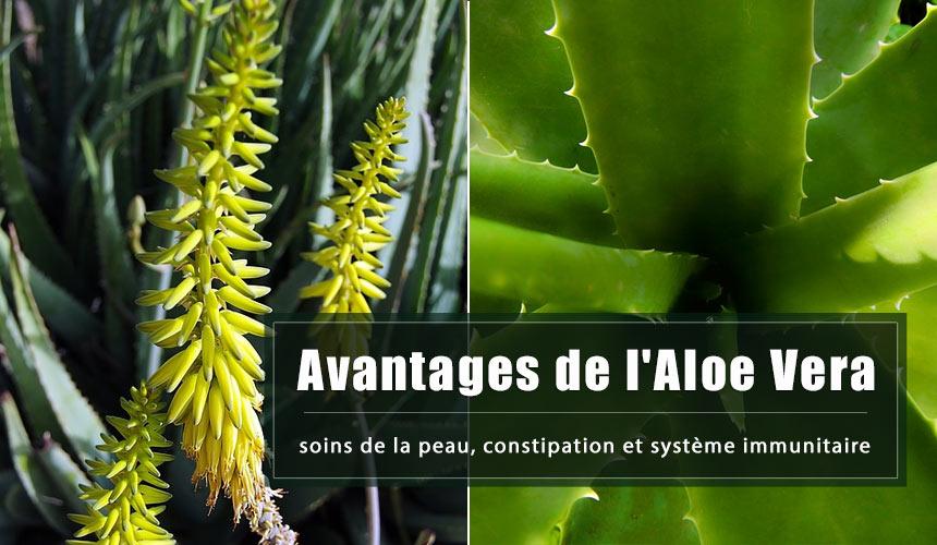 Avantages de l'Aloe Vera: soins de la peau, constipation et système immunitaire