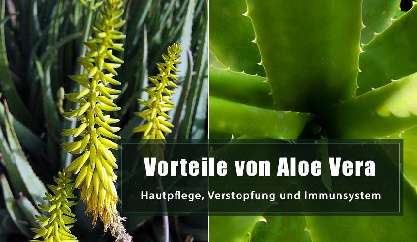 Aloe Vera Vorteile: Hautpflege, Verstopfung und Immunsystem