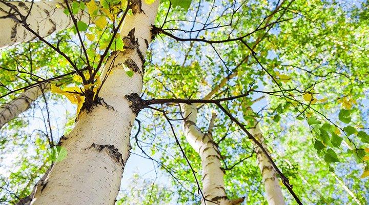 არყის ხის ფოთლების სარგებელი
